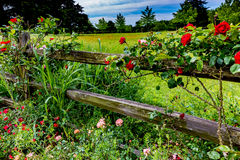 Beautiful Roses on an Old Texas Wooden Fence Stock Photos