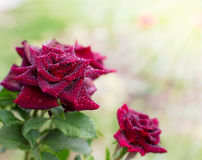 Beautiful roses outdoor Stock Images