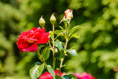 Beautiful roses in the park Royalty Free Stock Image