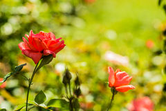 Beautiful roses in the park Royalty Free Stock Photos