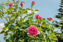 Beautiful roses in the park Stock Image