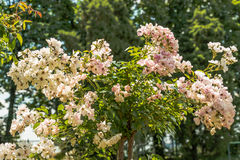 Beautiful roses in the park Stock Photography