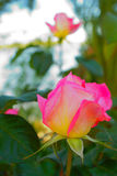 Beautiful roses pink and yellow. Over green background Royalty Free Stock Image