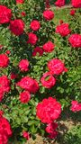 Beautiful roses. Plants, garden, flowers stock images