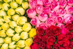 Beautiful roses Royalty Free Stock Images