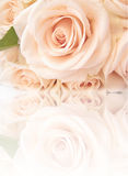 Beautiful roses with reflection Stock Images
