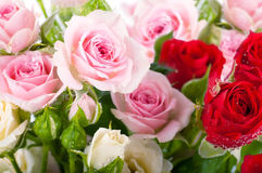 Beautiful roses in retro style, flower Royalty Free Stock Photo
