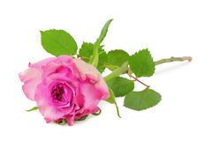 Beautiful Roses Rosaceae isolated, including clipping path. Beautiful Roses Rosaceae isolated on white background, including clipping path.  Germany Royalty Free Stock Photography
