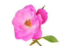 Beautiful Roses Rosaceae isolated on white background, including clipping path. Germany Royalty Free Stock Photography