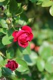 Beautiful roses royal park rajapruek. Royalty Free Stock Image
