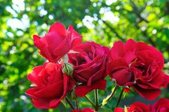 Beautiful roses in summer garden . Stock Photography