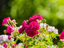 Beautiful Roses Stock Images