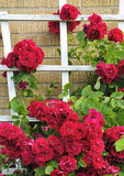 Beautiful roses wall. Beautiful red roses on house wall Royalty Free Stock Image