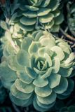 Beautiful rosette succulent plants, close up. Beautiful rosette succulent plants, background close up Royalty Free Stock Photos
