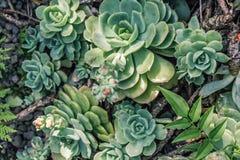 Beautiful rosette succulent plants, close up. Beautiful rosette succulent plants, background close up Stock Image