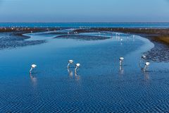 Rosy Flamingo colony in Walvis Bay Namibia, Africa wildlife stock image