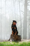 Beautiful Rottweiler dog breed is sitting on a stump on a background of smoke in the woods and looking to the side. Royalty Free Stock Image