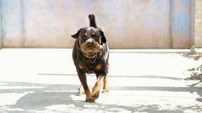 Beautiful Rottweiler dog breed with stick in the teeth to play. Dog takes commands. dog is moving directly to the viewer Stock Images