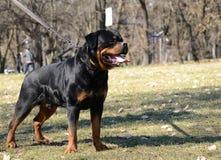 Beautiful rottweiler dog posing Royalty Free Stock Image