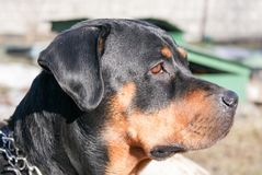 Beautiful Rottweiler dog Stock Photo