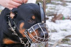Beautiful Rottweiler dog Royalty Free Stock Images
