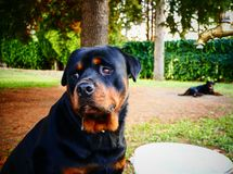 Rottweiler in the garden royalty free stock photo