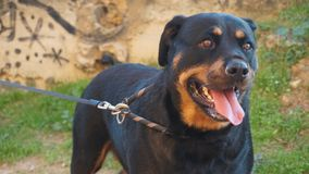 Beautiful rottweiler posing royalty free stock image