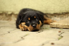 Beautiful Rottweiler puppy, age six weeks Royalty Free Stock Image