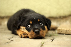 Beautiful Rottweiler puppy, age six weeks. Photographed in difficult conditions at the kennel Stock Photos