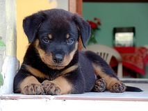 Beautiful Rottweiler puppy relaxing. On the ground Stock Photos