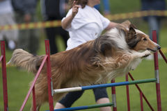 Beautiful Rough Collies. In long jump on agility competition Stock Photos