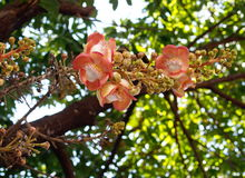 Beautiful round white magenta color flower of Cannon Ball Tree, Sal Tree. Sal of India, Couroupita guianensis Aubl. The plant in Buddhism history and typically stock image