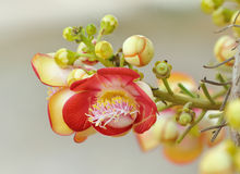Beautiful round white magenta color flower of Cannon Ball Tree, Sal Tree, Sal of India, Couroupita guianensis Aubl. The plant in B Stock Photography