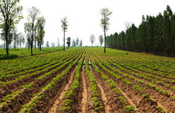 Agriculture field in Thailand. Beautiful row of plant and waiting for grow up royalty free stock image