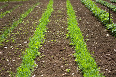 The beautiful row of seedlings of biological fields. After sowing the earth with its products Royalty Free Stock Photos