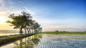 Beautiful row of tree in the side of rice field. At sunset Royalty Free Stock Photos