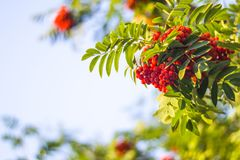Beautiful Rowan Bush with ripe red berries and green leaves. Beautiful Rowan Bush with ripe red berries and green leaves in late summer or early autumn royalty free stock image