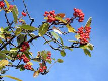 Rowan plant with red berries, Lithuania Royalty Free Stock Image