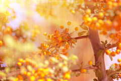 Beautiful rowanberry background Royalty Free Stock Photos
