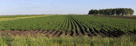 Beautiful rows on field planted with potatoes Stock Photos