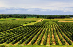 Beautiful Rows of Grape Vines Stock Photo