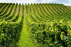 Beautiful rows of grapes Stock Photo