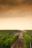 Beautiful rows of grapes before harvesting Royalty Free Stock Images