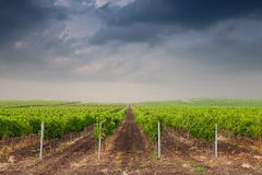 Beautiful rows of grapes before harvesting Stock Photo