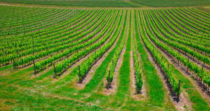 Beautiful rows of grapes before harvesting Stock Image