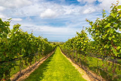 Beautiful rows of grapes before harvesting Royalty Free Stock Photos