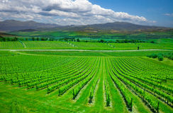 Beautiful rows of grapes before harvesting Stock Photography