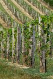 Beautiful rows of grapes from Hungary Royalty Free Stock Image