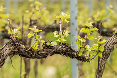 Beautiful rows of grapes Stock Photography