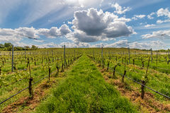 Beautiful rows of grapes Royalty Free Stock Photo